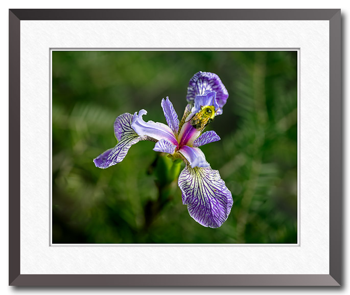 Fine art photograph by Craig Stocks showing a bee on an iris