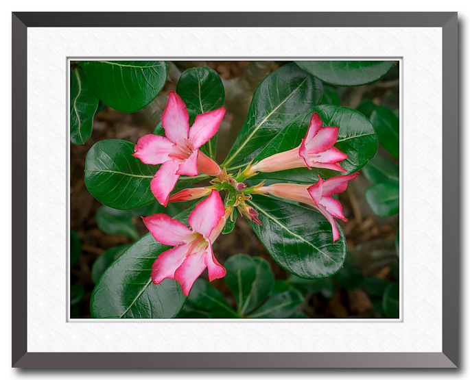 Fine art photo of a desert rose flower, photo by Craig Stocks