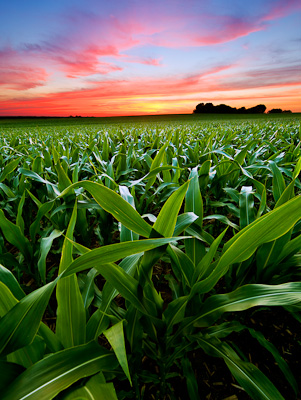 Delavan Illinois cornfield at sunset